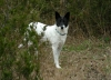 Canaan Dog, 5, white with black markings