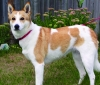 Canaan Dog, 5, white with red markings