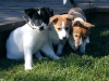 Canaan Dog, 8 weeks, white with blk/red markings