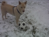 Canaan Dog, 3, tan