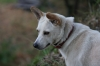 Canaan Dog, 2, white brown