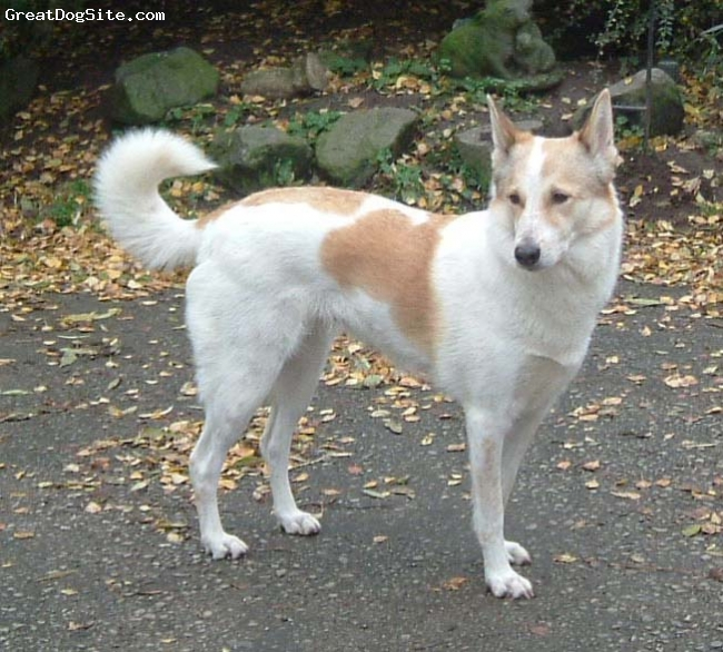 "Canaan Dog, 4 years, white with red patches, Keffy is a lovely dog with a wonderful pedigree going back to our wild-born Canaan, Minto's Libyan Jewel.  ""Keffy"" was Best Female at the 2009 Canaan Dog Club of the United Kingdom Open Show under Israeli judge, Avi Marshak.  She will be bred for the first time summer/fall 2009 to our import, AKC Ch Ha'Aretz Hayyim For Anacan"