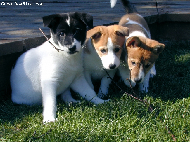 Canaan Dog, 8 weeks, white with blk/red markings, Three Canaan Dogs sisters... Domino, Scrabble and Checkers