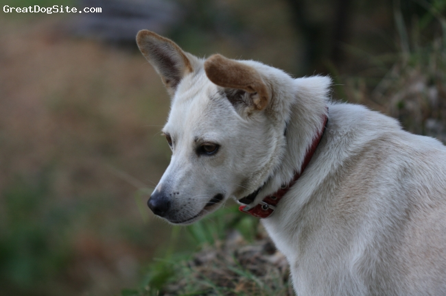 Canaan Dog, 2, white brown, Very clever dog and sporty too