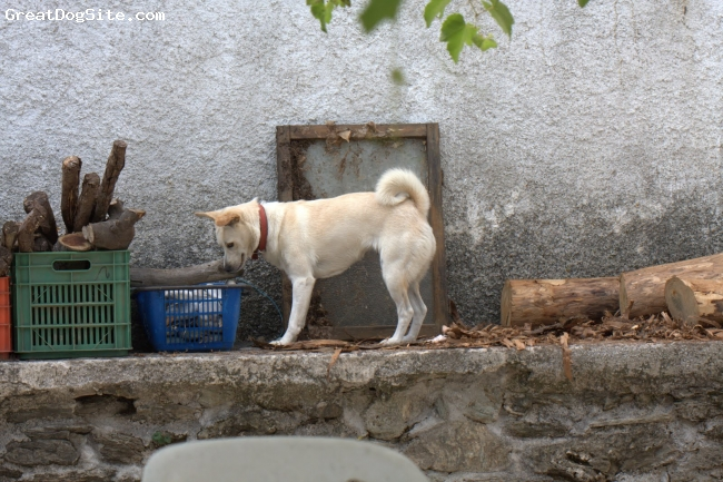 Canaan Dog, 2, brown, A clever dog, full of energy that likes hunting cats, small animals and insects