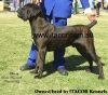 Cane Corso Italiano, 4, Brown Brindle