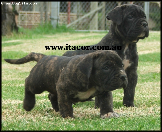 Cane Corso Italiano, 4 weeks, BLACK, ITACOR Sir Rumble is an offspring male Italian Cane Corso bred by ITACOR Sydney Australia from Impressive Sire & Dam Italian Imports