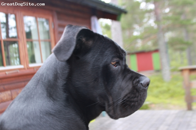 Cane Corso Italiano, 6 months, black, sweetest there is