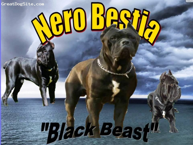 Cane Corso Italiano, 2 yr., Black, Nero is a product of only the finest imported and domestic bloodlines.  Visit our website and view his pedigree page and I think you will agree.