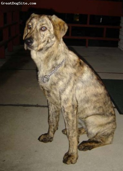 Cao de Castro Laboreiro, 2y 6m, Light brindle, Seet girl who likes to run. Also imported from Portugal on April 2007.