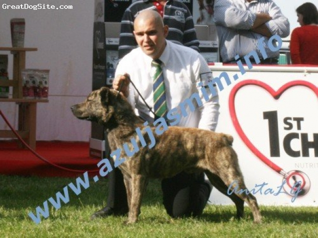 Cao de Fila de Sao Miguel, 2 years, Yellow, A typical dog, with a beautifull and right head, like the standart.