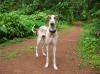 Caravan Hound, 9 months, White with fawn patches