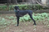 Caravan Hound, 2.5 year, black