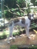 Caravan Hound, 13 Months, White with Brindile patches