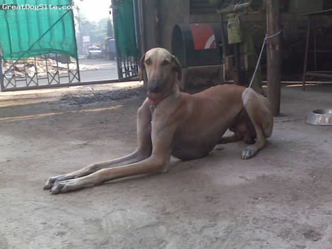 Caravan Hound, 2 years, FAWM, HE IS A VERY ACTIVE AND LOYAL DOG, LIKE HIS INTELLIGENCE AND STUD QUALITY.