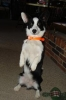 Cardigan Welsh Corgi, 2 years old, Black & White brindle pts