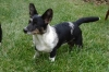 Cardigan Welsh Corgi, 6 months, cryptic merle