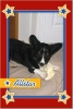 Cardigan Welsh Corgi, 8 years old, Black & White