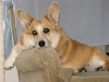Cardigan Welsh Corgi, 12 years, Red and White