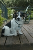 Cardigan Welsh Corgi, 4, white/brown