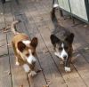 Cardigan Welsh Corgi, 8 month & 2 years, Sable and Brindle