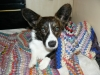 Cardigan Welsh Corgi, 2 Years, Brindle/white