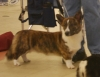 Cardigan Welsh Corgi, 1 year old, Red Brindle