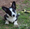 Cardigan Welsh Corgi, 13 weeks, Dark Brindle