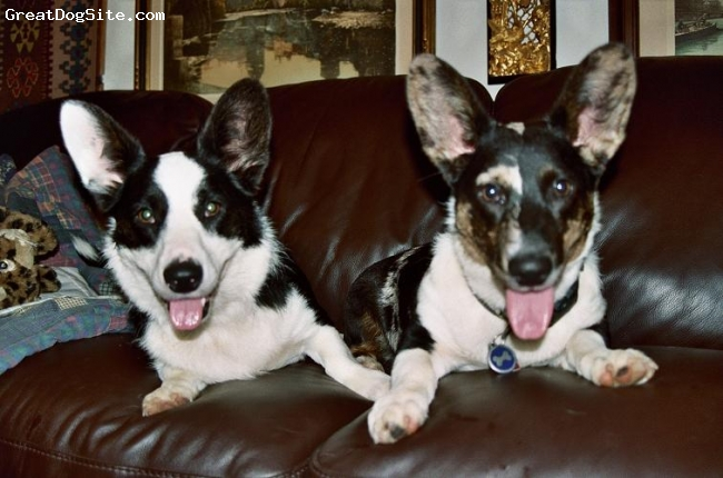 Cardigan Welsh Corgi, 2 yr & 6 months, blk&wht, cryptic merle, Deuce and Levi are brothers.