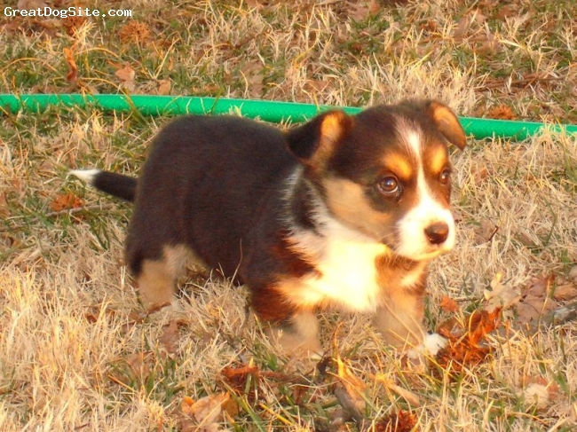 Cardigan Welsh Corgi, 7 weeks, Black & White w/ Tan Points, out in the yard