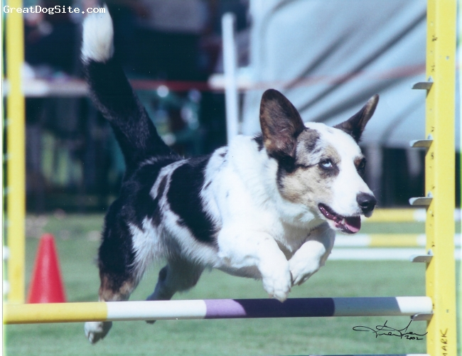 Cardigan Welsh Corgi, 2 in this picture, Blue Merle, At an agility trial