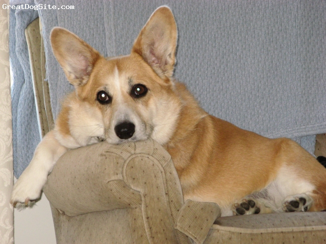 Cardigan Welsh Corgi, 12 years, Red and White, Here is a picture of Chloe relaxing in her favorite chair.  She was such a beautiful, loving dog.  She died 1 year ago and I still miss her terribly.