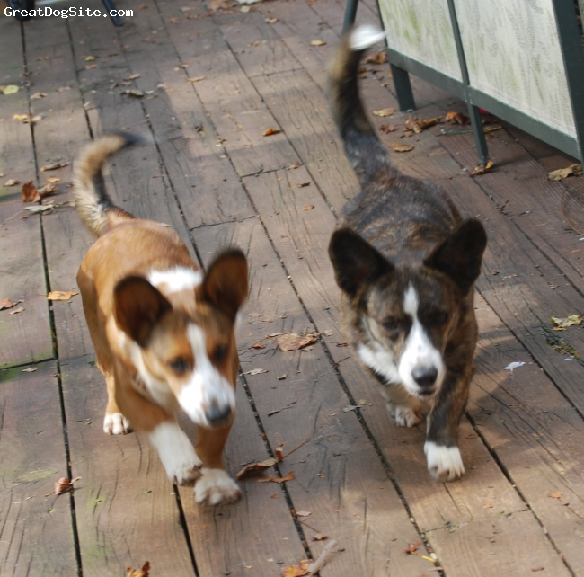 Cardigan Welsh Corgi, 8 month & 2 years, Sable and Brindle, Real Corgi's have Tails...