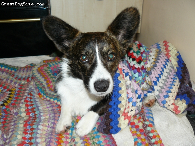Cardigan Welsh Corgi, 2 Years, Brindle/white, Bedtime!