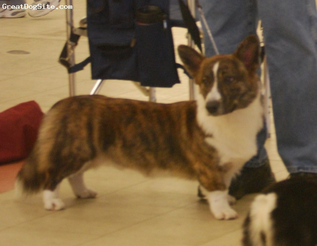 Cardigan Welsh Corgi, 1 year old, Red Brindle, AKC registered Cardigan Welsh Corgi male...