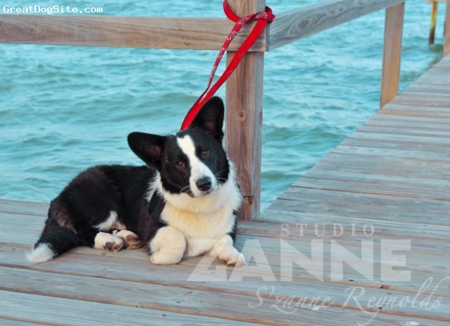 Cardigan Welsh Corgi, 7 months, Dark Brindle, Cardi by the Sea
