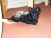 Carkie, 6 months, black