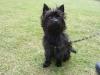 Carkie, 1 year, black
