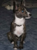 Carkie, 2 1/2 years old, Brindle brown, black with white markings
