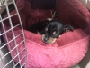 Carlin Pinscher, 9 wks, black and tan