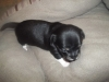 Carlin Pinscher, 5wks, black and white and tan