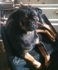 Carlin Pinscher, 4, Black and Tan