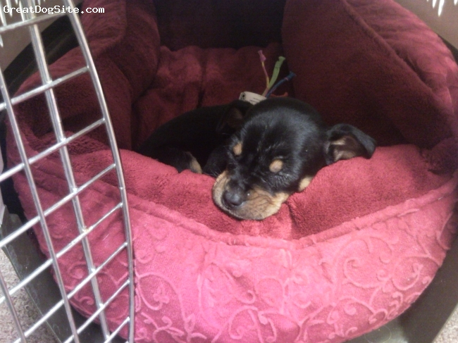 Carlin Pinscher, 9 wks, black and tan, Sleeping in her kennel