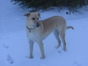 Carolina Dog, 5 years, yellow
