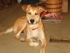 Carolina Dog, 3?, Reddish Brown