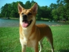 Carolina Dog, 2, Ginger and White