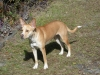 Carolina Dog, 1 1/2, ginger