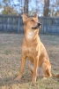 Carolina Dog, 1, Red Ginger/Buff