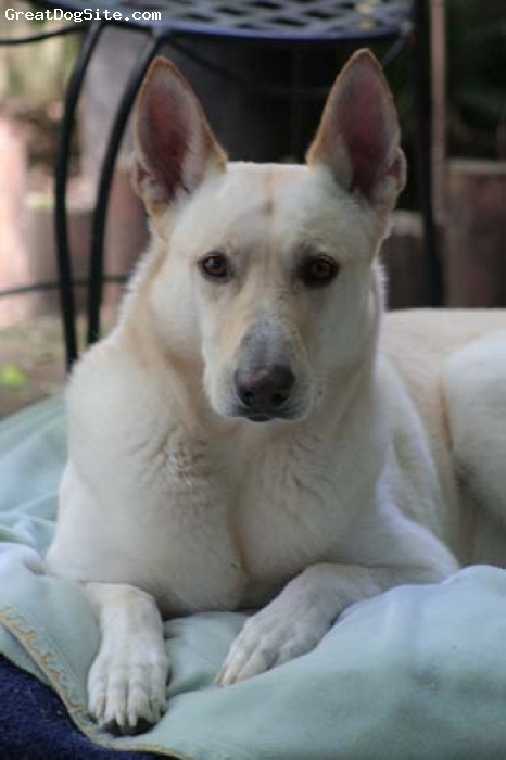 Carolina Dog, 8 years old, yellow, sweet, playful and protective