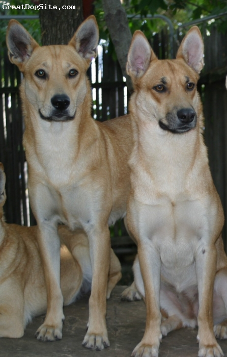 Carolina Dog, 2 and 3 years, yellow, Bonnie and Julie, photo Courtesy of California Carolina Dogs, age 2 and 3